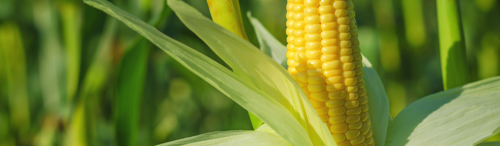 Epi maïs champ