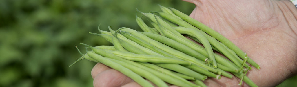 Haricots verts dans la main