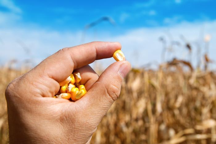 Grain de maïs
