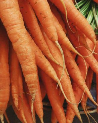 La Zanahoria Todo Sobre Este Vegetal Compárese el catalán safanòria y el portugués cenoura. la zanahoria todo sobre este vegetal